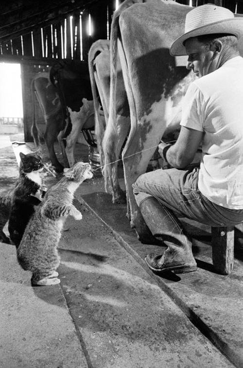 Gatos tomando leche de vaca.